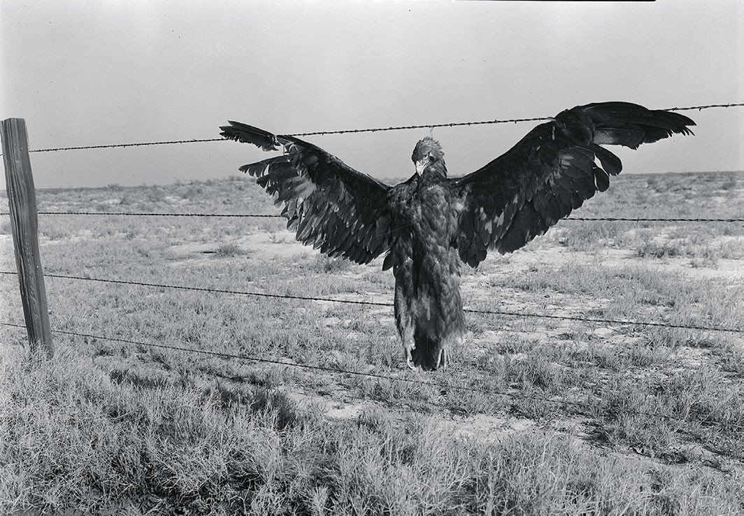 Dorothea Lange, A very blue eagle. Along California highway, 1936. Library of Congress